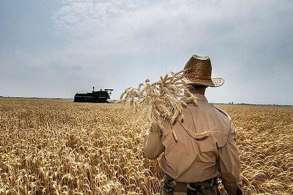 برداشت گندم در استان بوشهر ۹ برابر شد/ رضایت کشاورزان از کشتوزرع